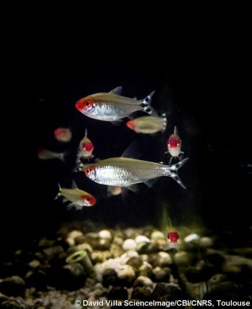 L'effet domino dans les décisions collectives des bancs de poissons