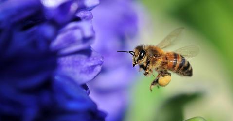 Les abeilles sont-elles aussi victimes de leur intelligence ?