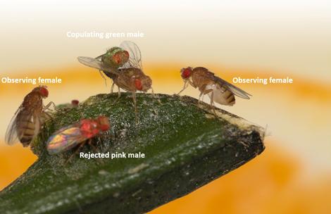 La drosophile est capable de transmettre ses préférences sexuelles de manière culturelle