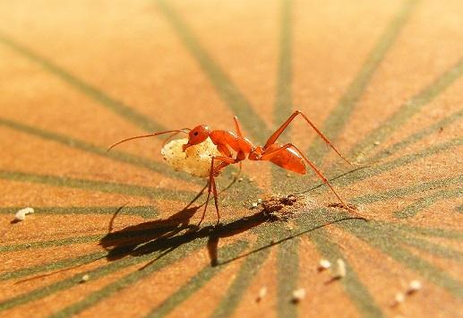 «L'aversion au risque guide les fourmis», Pour la Science