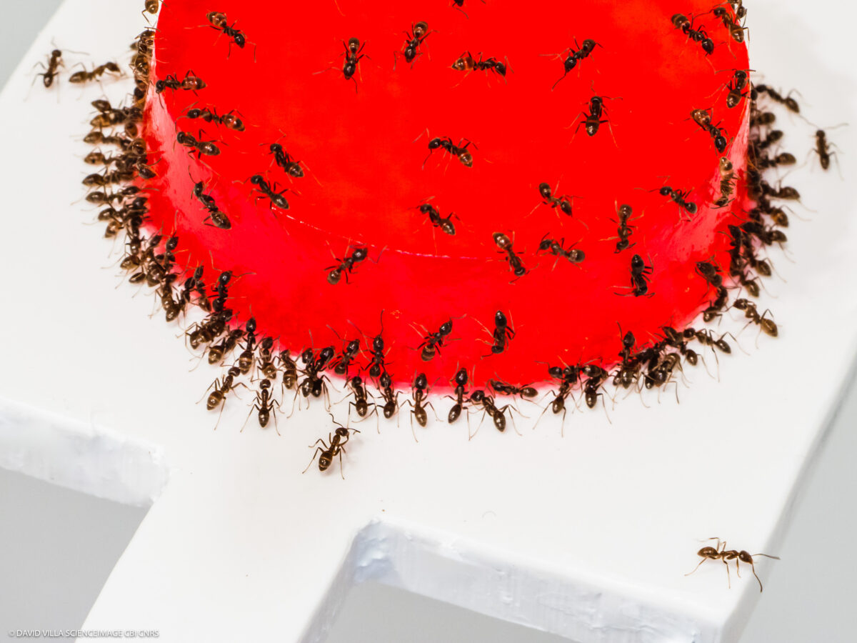 Collective intelligence in the face of nutritional challenges in ants